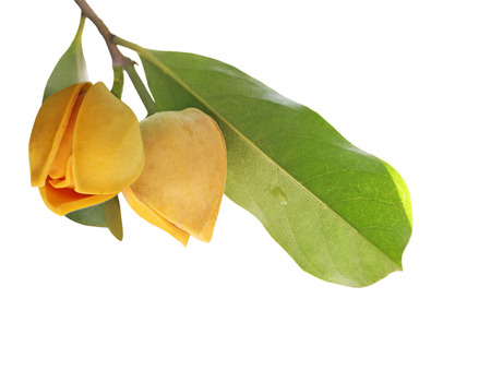 Mooie zuurzak bloemknop op een witte achtergrond