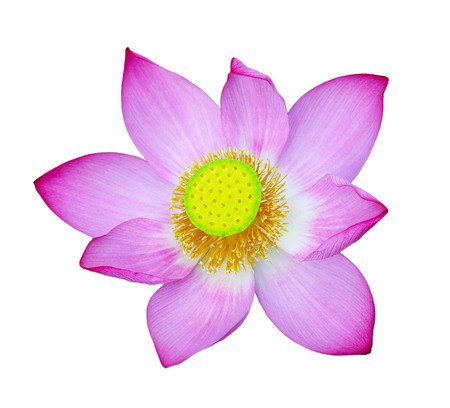 effloresce: Pink Sacred Lotus flower isolated on white background