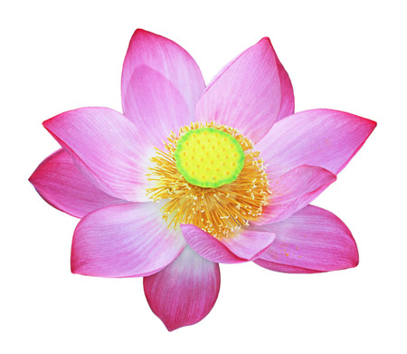 sacred lotus: Nelumbo nucifera,  Indian lotus, sacred lotus, bean of India,  simply lotus isolated on white background