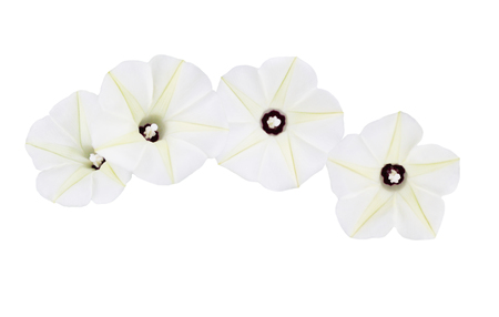 morning glory: Ipomoea obscura ( Obscure Morning Glory ) flower isolated on white background