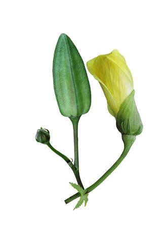 etymology: Kenaf ( Hibiscus cannabinus ) flower, fruit isolated on white background
