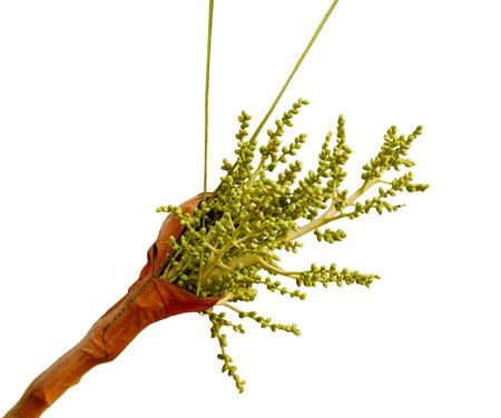 Areca Palm (Areca triandra)  Flower seed fruit isolated on white background