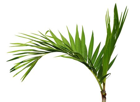 cau: Young Areca catechu palm tree isolated on white background