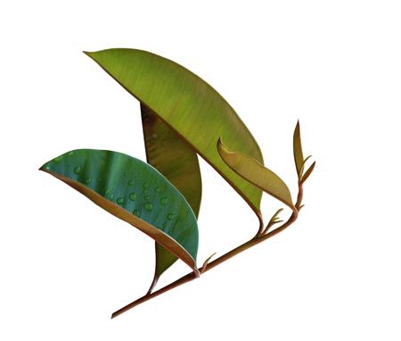 ruiz: Chrysophyllum cainito leaf on branch isolated on white background