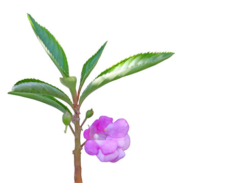 Impatiens balsamina (garden balsam, garden jewelweed, rose balsam, touch-me-not) flower 版權商用圖片