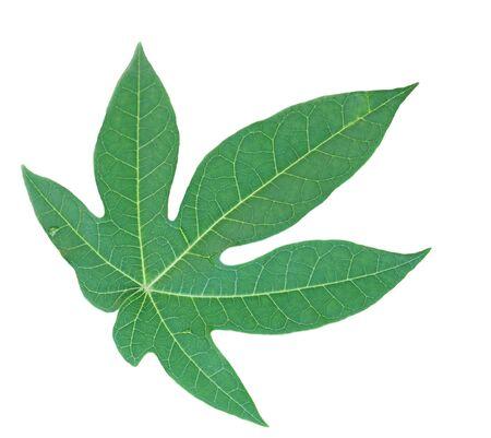 papaya: Single fresh carica papaya leaf isolated on white background