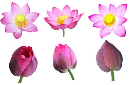 nucifera: Conjunto de nelumbo nucifera rosa flor de loto y yemas aisladas sobre fondo blanco Foto de archivo