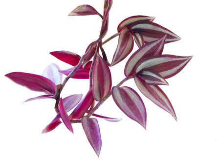 Purple heart wandering jew plant isolated on white background Фото со стока