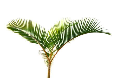 coconut leaf: Home plant yellow stem coco palm tree isolated on white background
