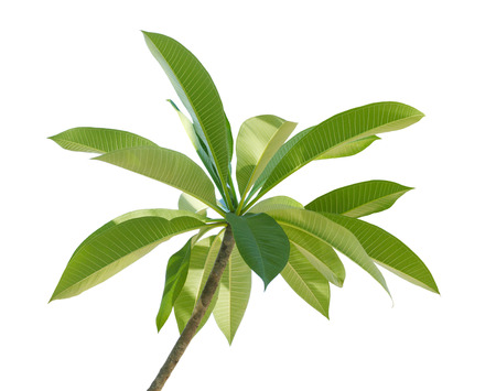 plumeria on a white background: Branch of Plumeria Frangipani leaf  isolated on white background Stock Photo