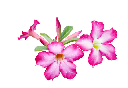 obesum: Adenium obesum flower isolated on white background Stock Photo