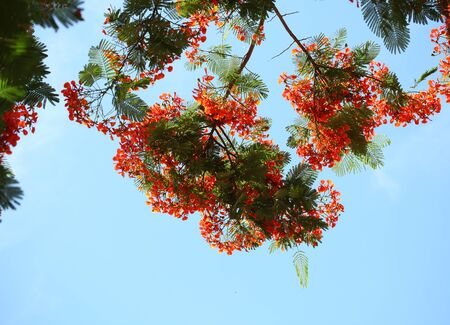 flamboyant: Red Delonix Regia , flamboyant flower tree in the summer Stock Photo