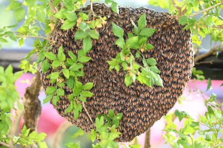 miel de abeja: Las abejas de miel enjambre colmena que cuelga sobre el árbol