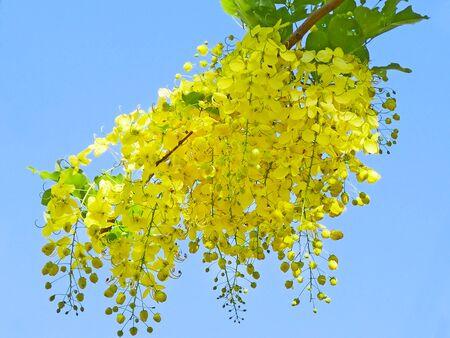 golden shower: Golden Shower Flower (cassisa fistula) in summer time