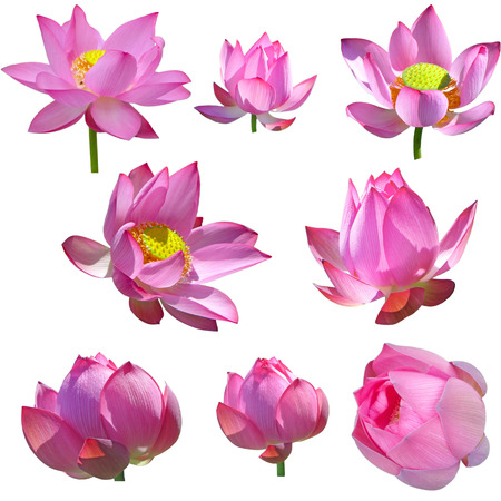 nelumbo: Pink Nelumbo Nucifera Lotus flowers Set isolated on white background