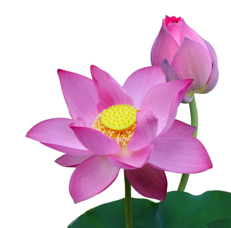 sacred lotus: Pink Nelumbo Nucifera Sacred Lotus isolated on white background