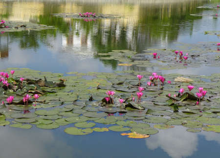 nymphaeaceae: Nymphaeaceae water lily flower in the lake Stock Photo