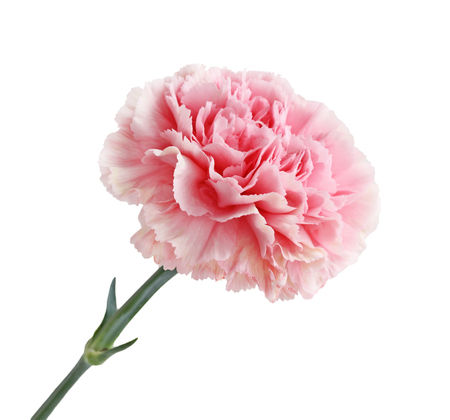Pink Carnation Flower head isolated on white background