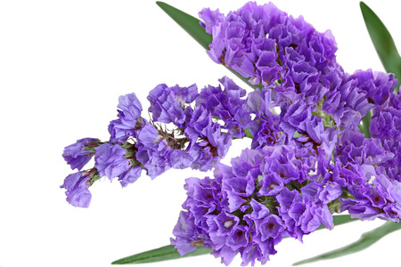 Close up of Purple statice sinuata flower isolated on white background
