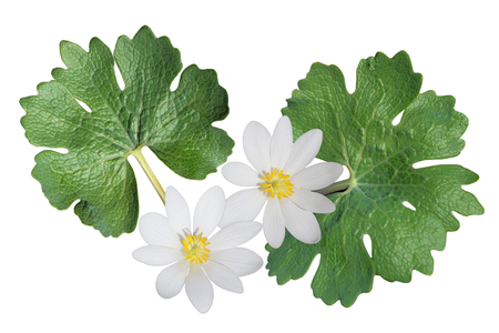 canadensis: Sanguinaria canadensis (Bloodroot) wild flower isolated on white background Stock Photo