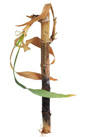 lucky bamboo: Dying lucky bamboo (Dracaena sanderiana) plant isolated on white background