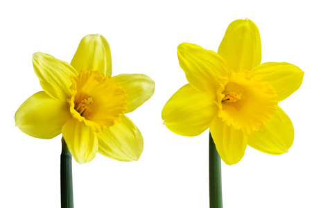 Set of two yellow narcissus daffodil flowers isolated on white
