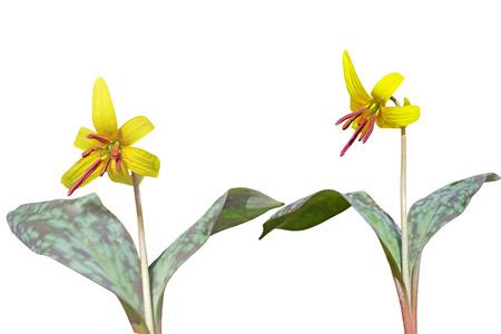 Trout lily Erythronium americanum plants isolated on white background Banco de Imagens