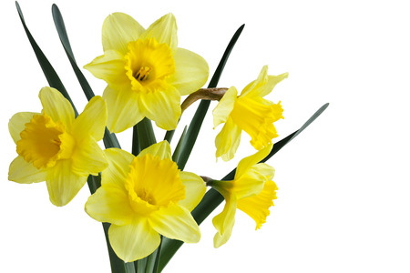 jonquil: Narcissus daffodil jonquil spring perennial plants