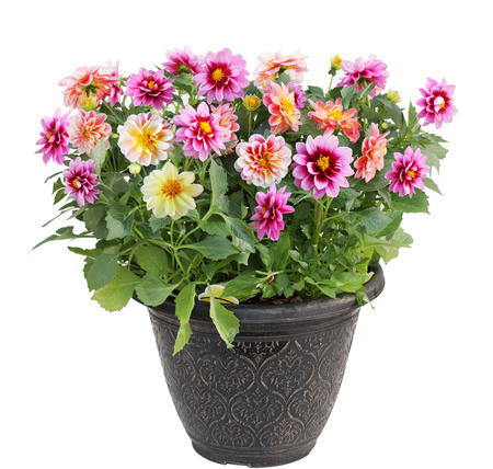 flor morada: Planta colorida flor de la dalia en el crisol aislado en el fondo blanco