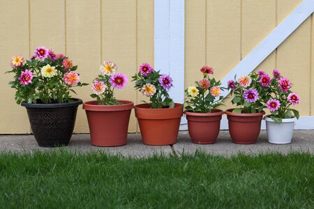 Dahlia flower planter row for natural background Standard-Bild