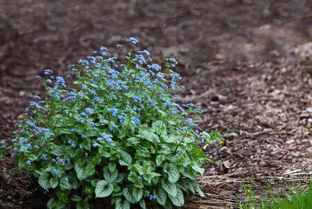fiori di campo: Brunnera me macrophylla dimentica non fiore pianta Archivio Fotografico