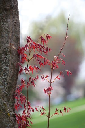 emerging markets: Young red maple branch coming out from dead tree Stock Photo