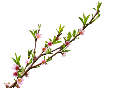blossom tree: Sping peach blossom flower isolated on white background Stock Photo