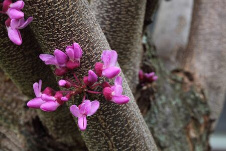 redbud: Redbud flower blooming in the spring time Stock Photo