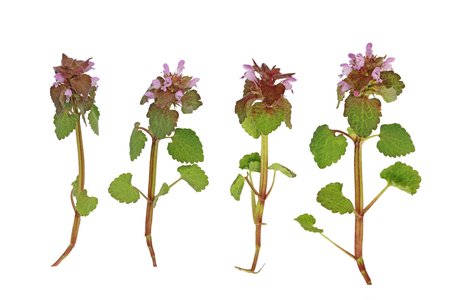 Pink Dead Nettle wild flower plant isolated on white background