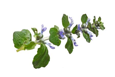 bugle: Ajuga reptans blue bugle flower plant isolated on white background Stock Photo