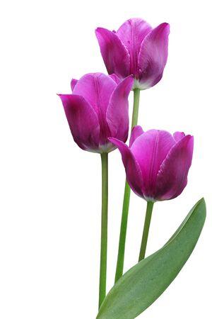 submerge: Three purple tulip flowers isolated on white background Stock Photo