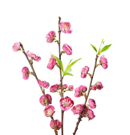 white blossom: Blooming Cherry blossom flower on branch isolated on white background