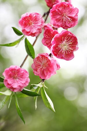 peach blossom: Beautiful cherry blossom flower in the spring time Stock Photo