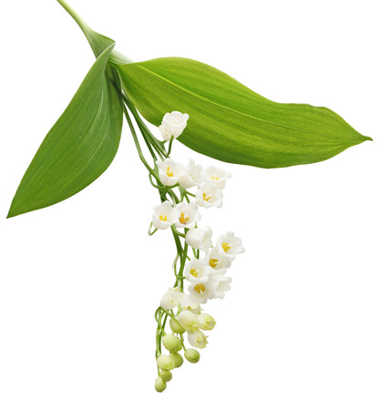 flor de lis: Lirio de la planta de la flor del valle aislado en el fondo blanco