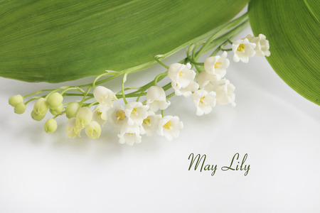 muguet: May Lilly lily of the valley