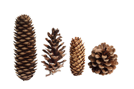 brown white: Collection of pine cones isolated on white background