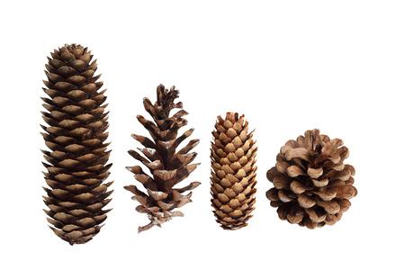 white  background: Recolecci�n de conos de pino aislados sobre fondo blanco