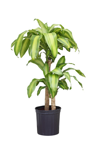 Dracaena fragrans corn plant in the pot isolated on white background