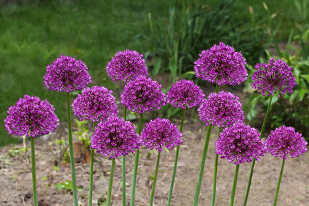 perennial plant: Purple giant  Allium Flowers plant in the garden