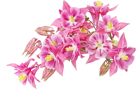 pink columbine: Aquilegia  Grannys Bonnet or Columbine flower isolated on white background