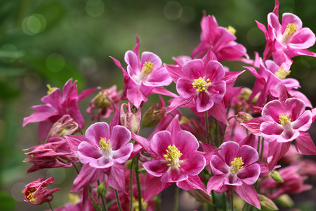 pink columbine: Fresh pink star columbine flower in summer time Stock Photo