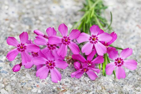 groundcover: Phlox subulata Scarlet Flame creeping groundcover flower plant on concrete Stock Photo