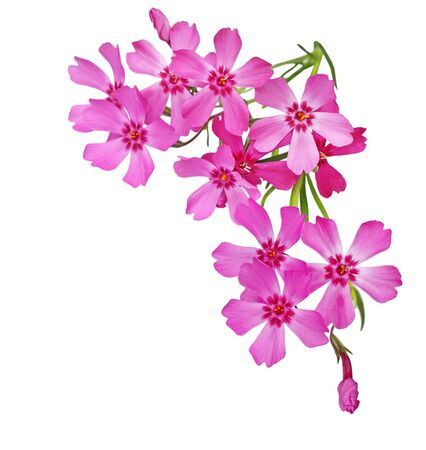 bunch of flowers: Creeping Phlox Flowers isolated on white background