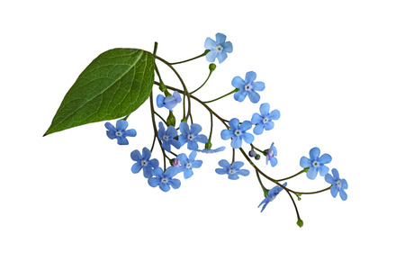 forget me not: Fresh Forget Me Not flower isolated on white background